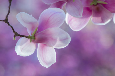 Chinese magnolia, Magnolia × soulangeana
