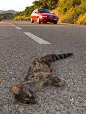 Roadkilled Common genet, Genetta genetta
