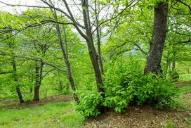 Springtime foliage of Castanea sativa