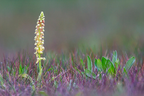 Man orchid, Orchis anthropophora