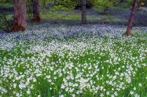 Wood stitchwort & Bluebells