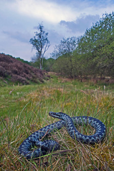 Male dder, Vipera berus in typical moorland habitat