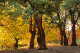 Castanea sativa autumnal foliage and cork oak
