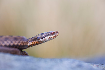 Female adder, Vipera berus