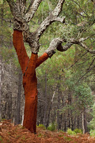 Bark recently removed from Cork oak