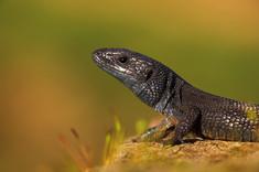 A rare melanistic (black) Melanistic Viviparous lizard, Zootoca vivipara