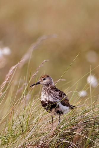 Dunlin, Calidris alpina in summer breeding plumage