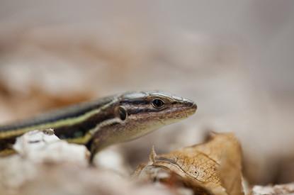Large sammodromus lizard