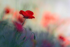 wix Poppies 3.jpg