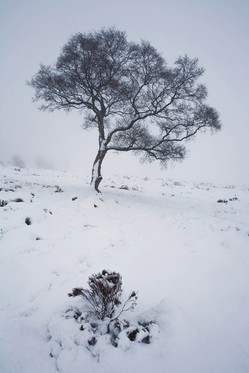 Winter birch