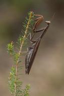 European Preying Mantis, Mantis religiosa