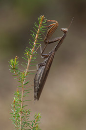 European Preying Mantis, Mantis religiosa