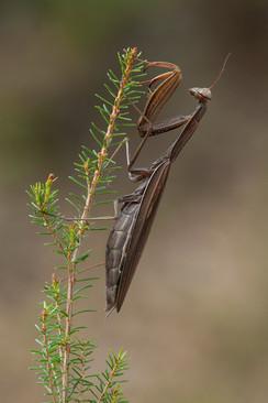 Preying mantis, Mantis religiosa