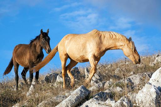 Andalucian horses, Equus caballus