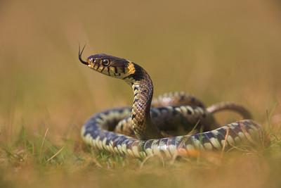 Grass Snake, Natrix natrix scenting the air