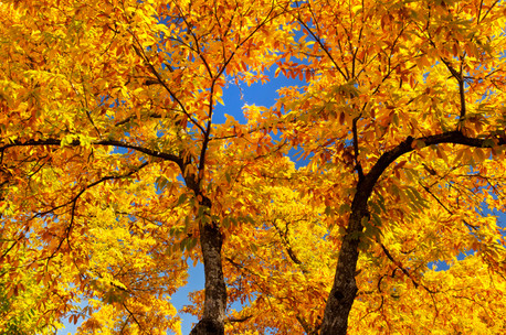 Castanea sativa golden foliage of autumn