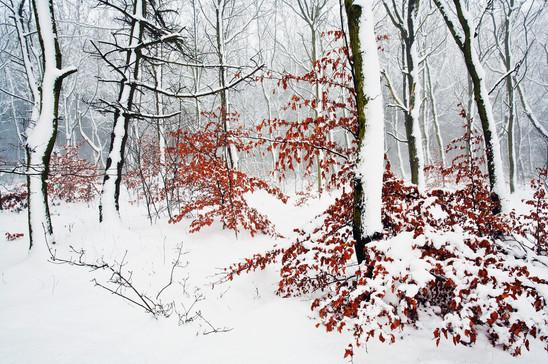 Autumnal beech foliage adorning trees in winter snowfall