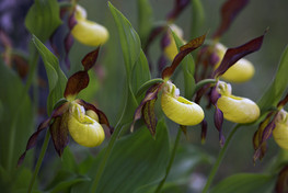 Lady's-slipper orchids, Cypripedium calceolus