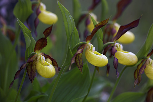 Lady's-slipper orchid blooms, Cypripedium calceolus
