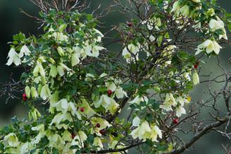 Wild Clematis flowers, Clematis vitalba