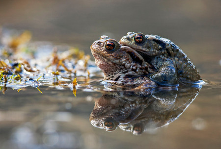 Amplexus (mating) in Common Toads, Bufo bufo