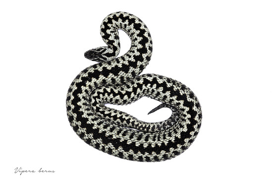 Male adder, Vipera berus photographed against an artifical white background