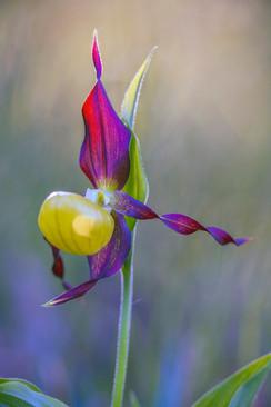 Lady's-slipper orchid, Cypripedium calceolus