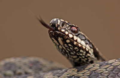 Adder scenting the air.jpg