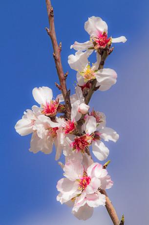 Almond blossom, Prunus dulcis