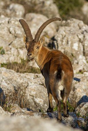Iberian ibex, Capra pyrenaica