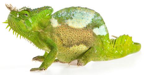 Four-horned chameleon, Trioceros quadricornis (Captive)