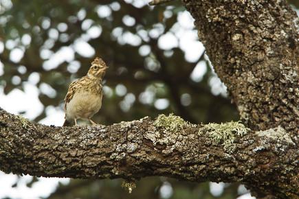 Woodlark, Lullula arborea