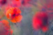 Wix Poppy Art.jpg