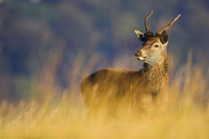 Juvenile red deer stag