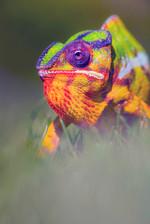 Panther Chameleon, Furcifer pardalis