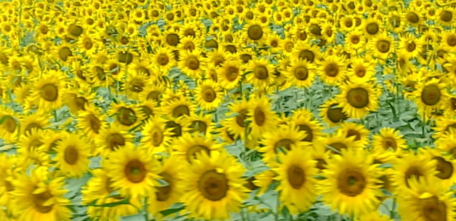 Umbrian Sunshine