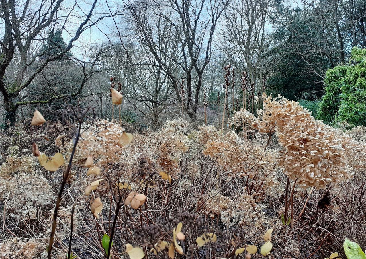 Hydrangea seedheads and winter trees.  C