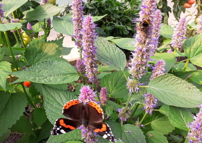 Red Admiral on Agastache, July in Shrops
