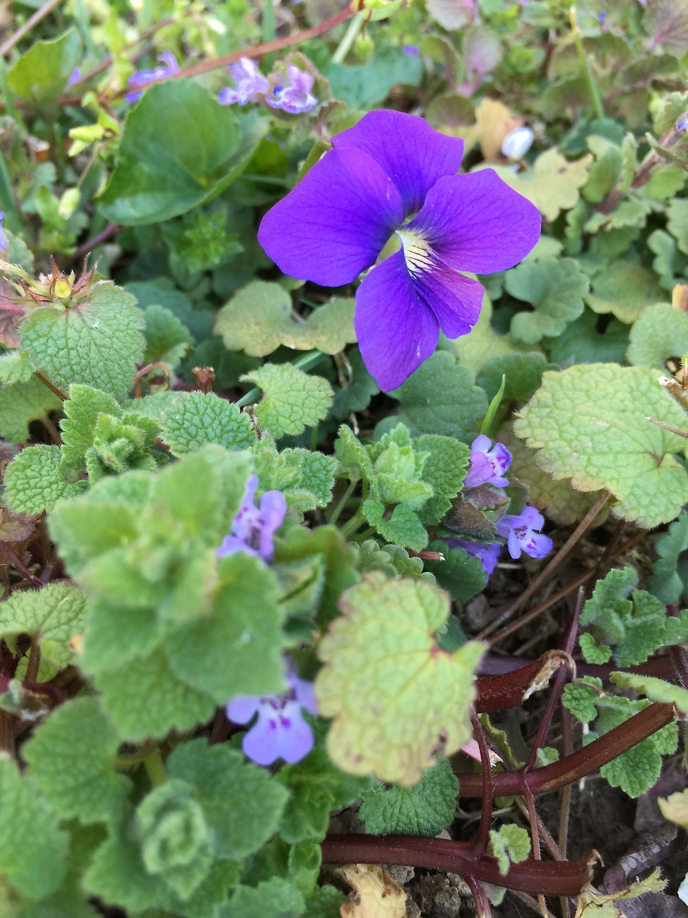 Violets and Ivy