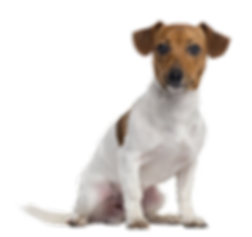 06.-Jack-russell-Terrier.png