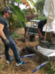 ylang ylang plant tree 4.JPG