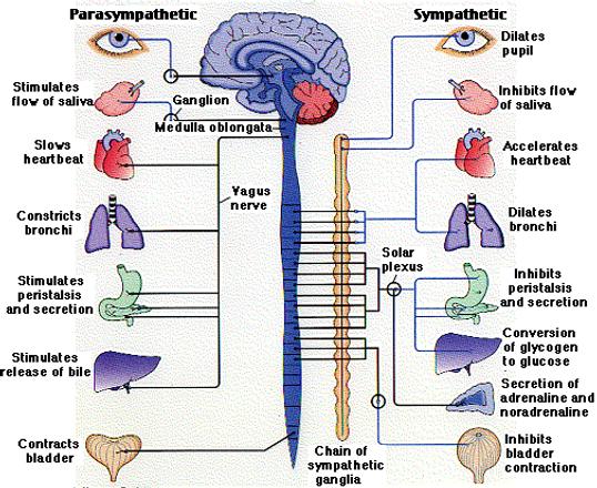 Acadiana Lymphatic Center, Autonomic Nervous System