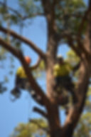 Tree removal Taree Forster Tuncurry