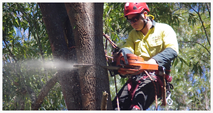 Tree prunning, tree lopping, Taree, Forster