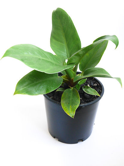 Philodendron selloum 'Imperial green'