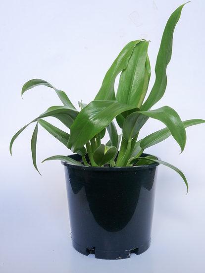 Philodendron Wendlandii 2.5L