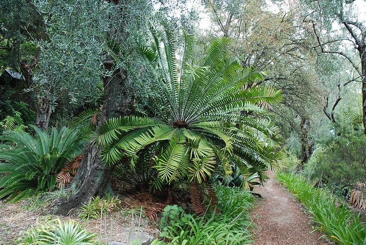 Encephalartos longifolia.JPG