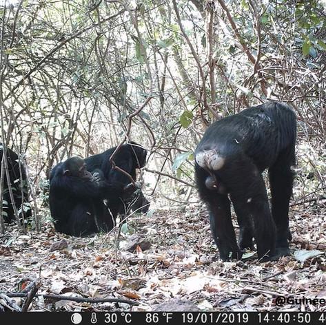 Projet d'Etude de Faisabilité et de Mobilisation Communautaire pour le Classement en Sites du Patrimoine Mondial d'Habitats Naturels pour la Conservation des Chimpanzés dans le Massif du Fouta Djallon.