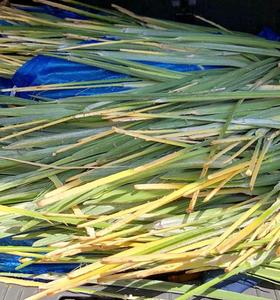 En Antic Mallorca hacemos nuestras cestas con palmito mallorquín, que recolectamos, secamos y tratamos nosotras mismas. Queremos mantener esta tradición y esta artesanía en Mallorca. Por eso hemos creado l'escola de L'art de ses Madones de sa Llata, donde transmitimos todo lo que nuestras grandes maestras nos han enseñado.
