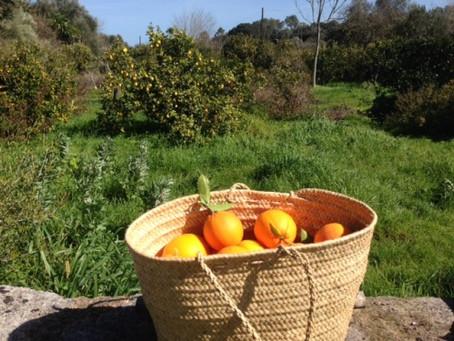 Recogiendo naranjas con Antic Mallorca desde 2010